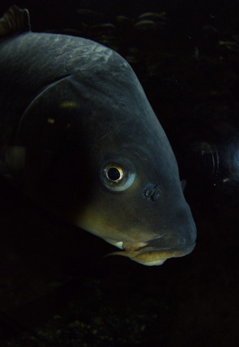 海南キモイ鯉.jpg